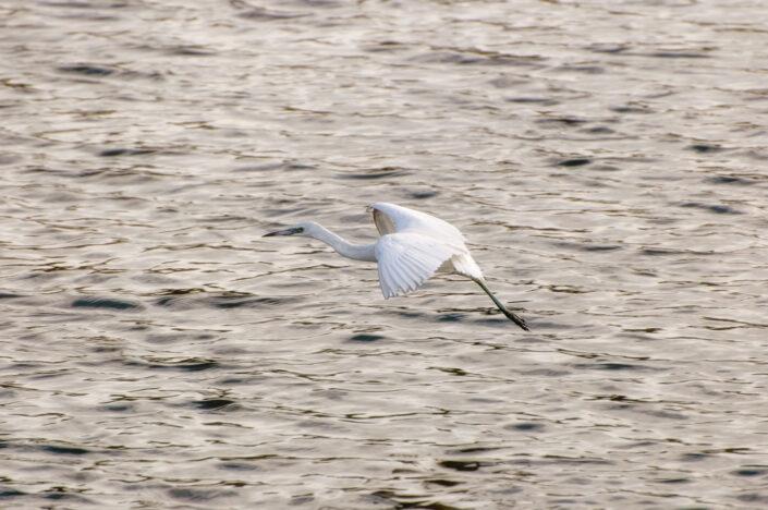 Egret - Aigrette